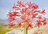 Brunsvigia Multiflora Near Queenstown South Africa By Marianne North