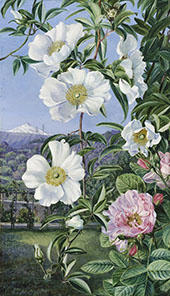Cherokee Rose with The Peak of Teneriffe in The Distance By Marianne North