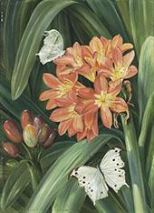 Clivia Miniata and Moths Natal By Marianne North