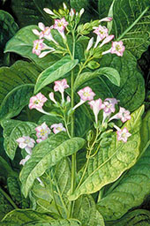Common Tobacco 1870 By Marianne North
