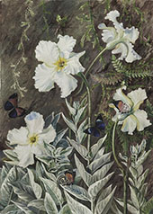 Flannel Flower of Casa Branca and Butterflies Brazil By Marianne North
