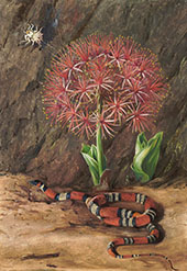 Flor Imperiale Coral Snake and Spider Brazil 1880 By Marianne North