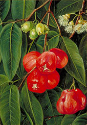 Flowers and Fruit of The Jamboa Boll Java 1876 By Marianne North