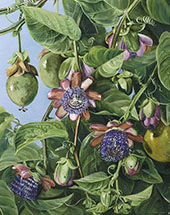 Flowers and Fruit of The Maricojas Passion Flower Brazil By Marianne North