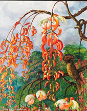 Flowers of a Coral Tree and King of The Flycatchers Brazil 1880 By Marianne North