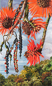 Flowers of Another Kind of Coral Tree 1880 By Marianne North