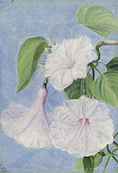 Flowers of a Shrubby Convolvulus Jamaica By Marianne North