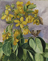 Flowers of Cassia Corymbosa in Minas Geraes Brazil By Marianne North