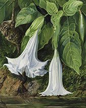 Flowers of Datura and Humming Birds Brazil By Marianne North