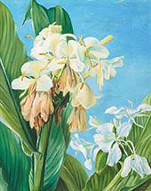 Flowers of Hedychium Botanic Gardens Brazil 1880 By Marianne North