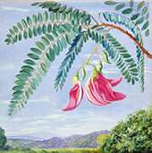 Foliage and Flowers of a Tree Commonly Cultivated in Warm Countries By Marianne North