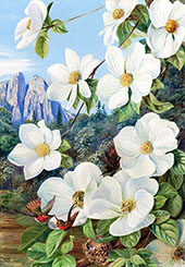 Foliage and Flowers of The Californian Dogwood and Humming Birds By Marianne North