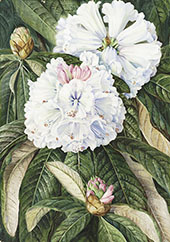 Foliage and Flowers of The Indian Rhododendron Grande By Marianne North