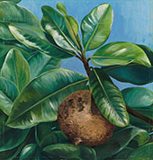 Foliage and Fruit of Mammae Apple or South American Apricot 1880 By Marianne North