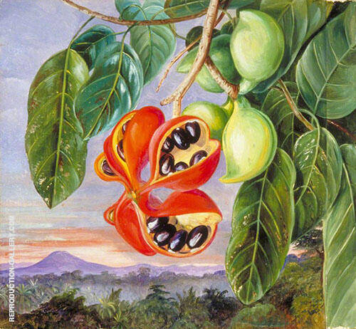 Foliage and Fruit of Sterculia Parviflora 1870 By Marianne North