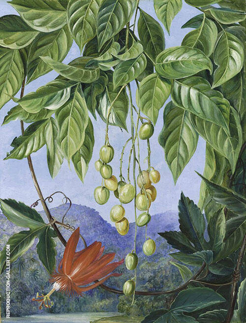 Foliage and Fruit of The Wampee and American Passion Flower By Marianne North