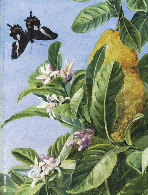 Foliage Flowers and Fruit of The Citron and Butterfly Painted in Brazil By Marianne North
