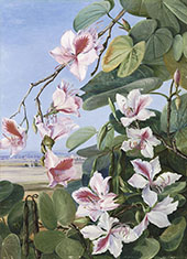 Foliage Flowers and Fruit of a Common Indian Forest Tree By Marianne North