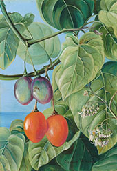 Foliage Flowers and Fruit of False Tomato Painted in Brazil By Marianne North