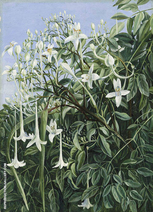 Foliage Flowers and Fruit of Millingtonia Hortensis By Marianne North