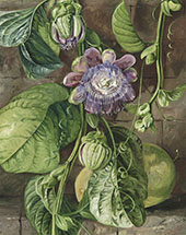 Foliage Flowers and Fruit of The Granadilla Jamaica By Marianne North