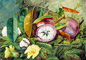 Foliage Flowers and Seed Vessels of Cotton and Fruit of Star Apple Jamaica 1872 By Marianne North