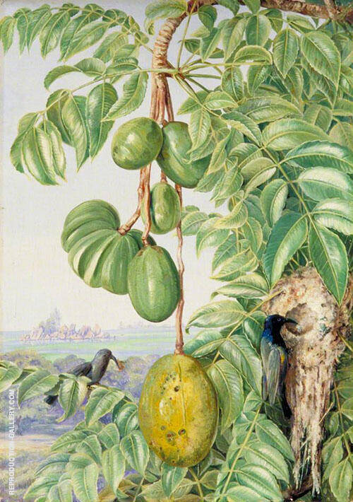 Fruit de Cythere and Sugar Birds and Nest Seychelles By Marianne North
