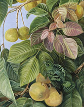Fruit of Sandoricum and Green Gaper Borneo By Marianne North
