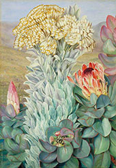 Giant Everlasting and Protea on The Hills Near Port Elizabeth 1882 By Marianne North