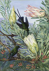 Honeyflowers and Honeysuckers South Africa 1882 By Marianne North