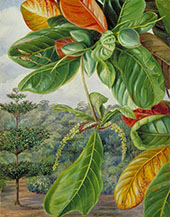 Indian Almond 1870 By Marianne North