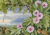 Ipomoea and Vavangue with Mahe Harbour in The Distance By Marianne North