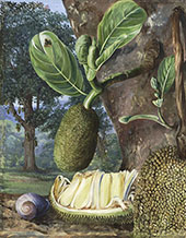 Jak Fruit Singapore By Marianne North