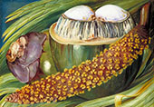 Male Inflorescence and Ripe Nuts of The Coco De Mer Seychelles 1883 By Marianne North