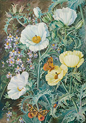 Mexican Poppies Chilian Schizanthus and Insects By Marianne North