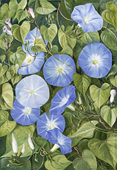 Morning Glory Natal By Marianne North