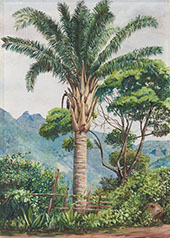 Oil Palm at Tijuca Brazil 1880 By Marianne North