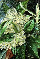 Olearia Argophylla By Marianne North