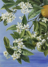 Orange Flowers and Fruits Painted in Teneriffe By Marianne North