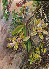 Orchids and Creeper on Water Worn Boulders in The Bay of Rio Janeiro Brazil 1880 By Marianne North