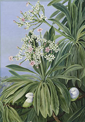 Ordeal Plant or Tanghin and Parokeets of Madagasear By Marianne North