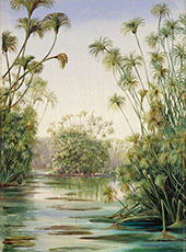 Papyrus or Paper Reed Growing in The Ciane Sicily 1870 By Marianne North