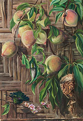 Peaches and Humming Birds Brazil 1880 By Marianne North