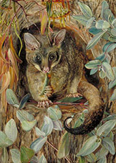 Possum up a Gum Tree 1880 By Marianne North
