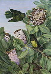 Protea and Golden Breasted Cuckoo of South Africa By Marianne North