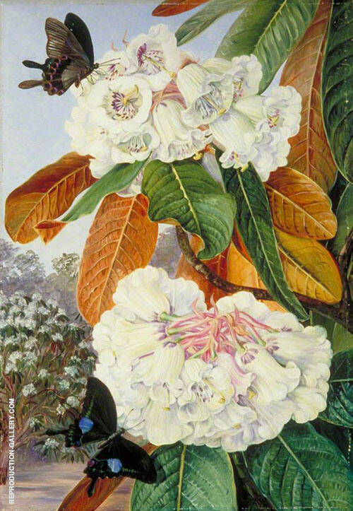 Rhododendron Falconeri from The Mountains of North India 1878 By Marianne North