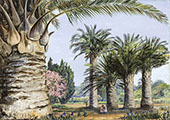 Specimens of The Coquito Palm of Chile in Camden Park New South Wales 1880 By Marianne North
