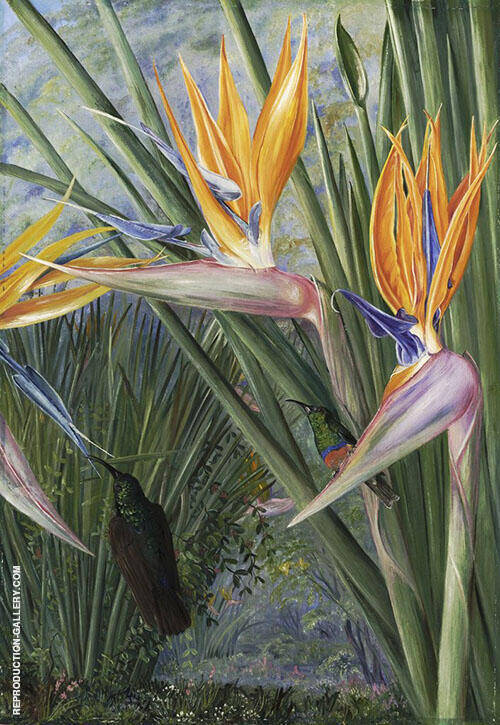Strelitzia and Sugar Birds South Africa By Marianne North