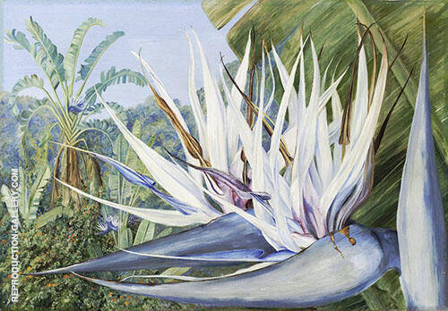 Strelitzia Augusta at st Johns Kaffraria By Marianne North