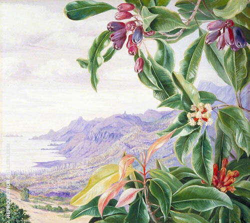 The Clove in Fruit and View over Mahe Seychelles By Marianne North